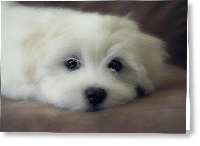 Melanie Lankford Photography Greeting Cards - Puppy Eyes Greeting Card by Melanie Lankford Photography
