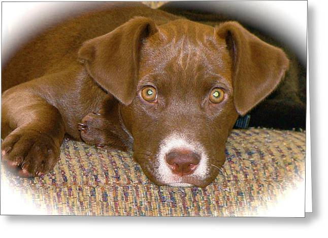 Chocolate Lab Greeting Cards - Puppy Eyes Greeting Card by Rita Mueller