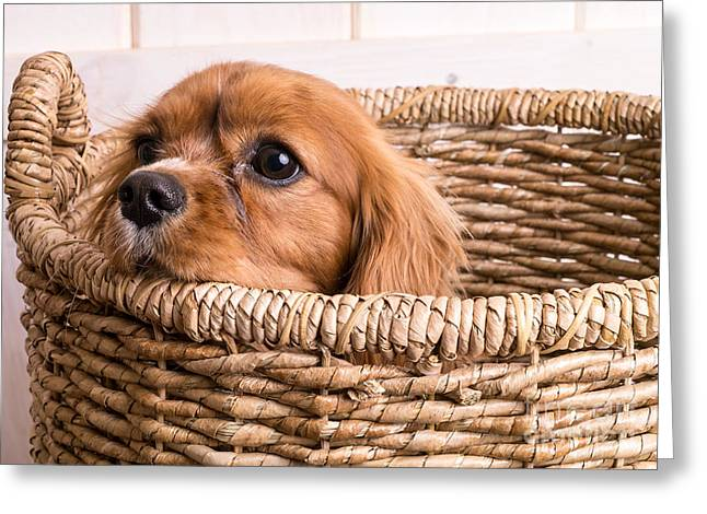 Dog Photo Greeting Cards - Puppy in a laundry basket Greeting Card by Edward Fielding