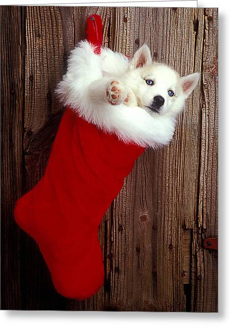 Puppies Greeting Cards - Puppy in Christmas stocking Greeting Card by Garry Gay