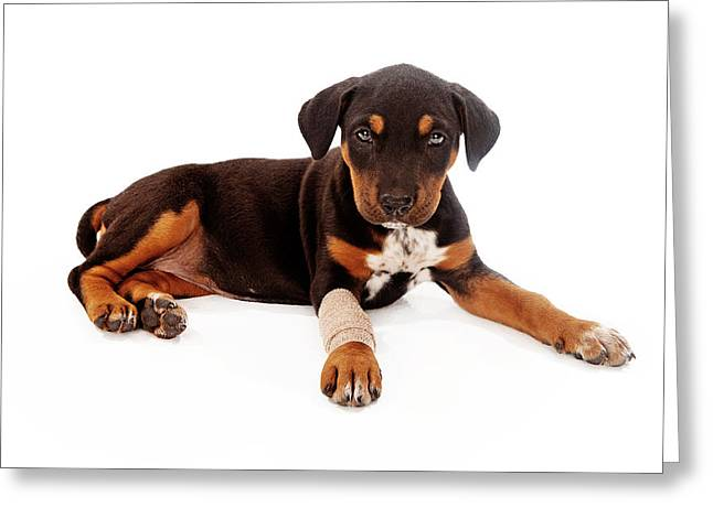 Full-length Portrait Photographs Greeting Cards - Puppy Laying With Injury Greeting Card by Susan  Schmitz