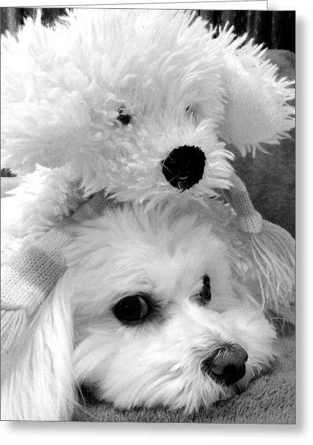Toy Maltese Photographs Greeting Cards - Puppy Puppy Greeting Card by Mary Beth Landis