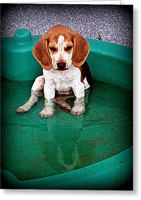 Beagle Puppies Print Greeting Cards - Puppy Refection  Greeting Card by Lynn Griffin