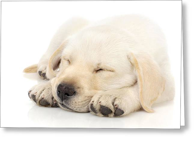 Cuddly Photographs Greeting Cards - Puppy sleeping on paws Greeting Card by Johan Swanepoel