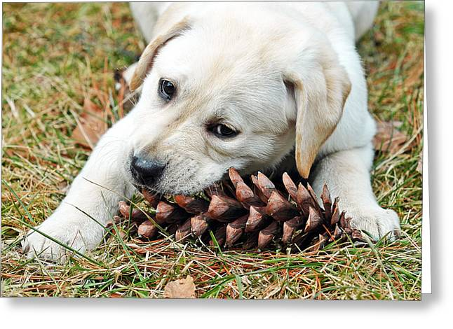 Sweetness Greeting Cards - Puppy with Pine Cone Greeting Card by Lisa  Phillips