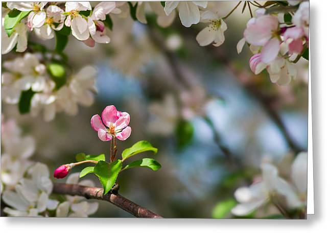Pink Flower Branch Greeting Cards - Pure Beauty - Featured 3 Greeting Card by Alexander Senin
