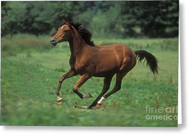 Horse Breed Greeting Cards - Pure Blood Arab, Galloping Greeting Card by Jean-Michel Labat