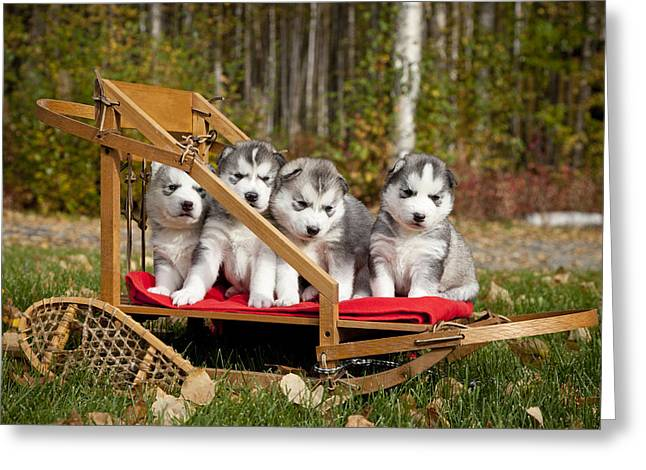 Fall Grass Greeting Cards - Pure-bred Siberian Husky Puppies In Greeting Card by Jeff Schultz