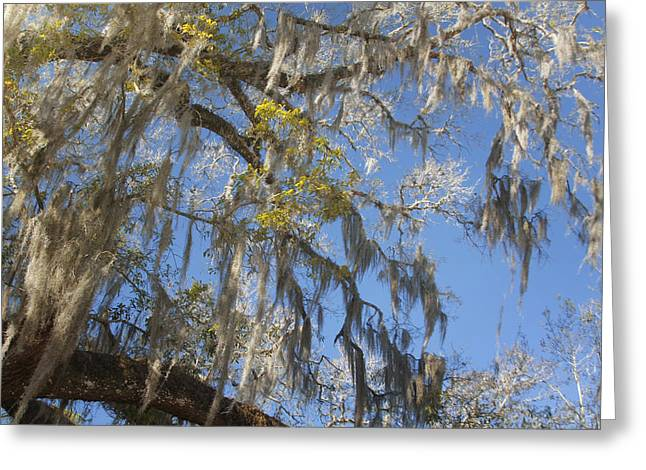 Cypress Greeting Cards - Pure Florida - Spanish Moss Greeting Card by Christine Till