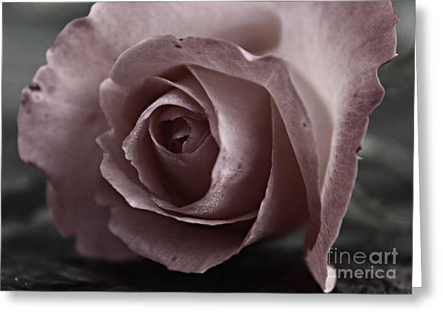 Water Drops On Rose Greeting Cards - Pure Love Greeting Card by Clare Bevan