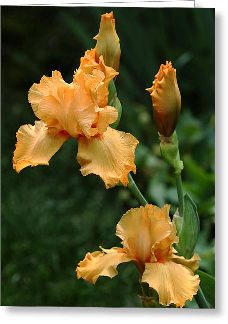 Award Greeting Cards - Pure Orange Iris Greeting Card by Debbie Oppermann