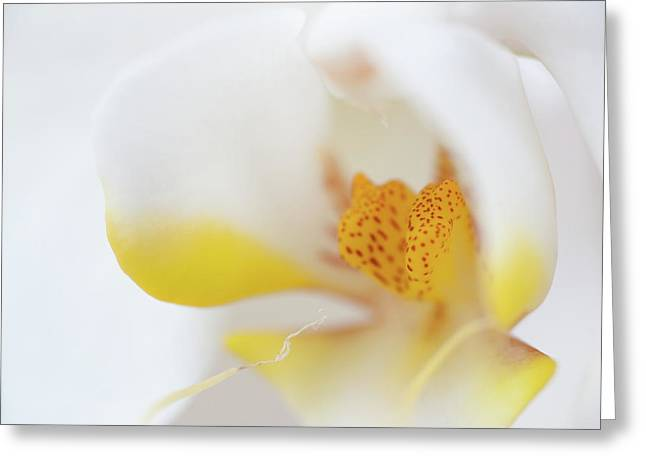 White Flower Greeting Cards - Pure White Greeting Card by Sebastian Musial