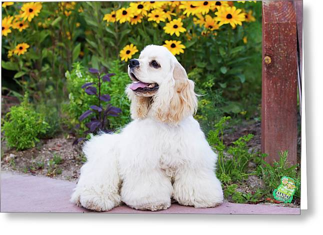 Purebred Cocker Spaniel Greeting Card by Piperanne Worcester