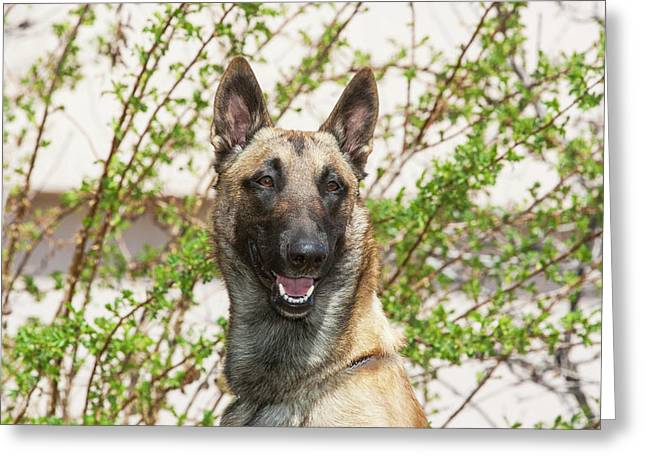 Purebred Malinois In Front Of Bushes Greeting Card by Piperanne Worcester