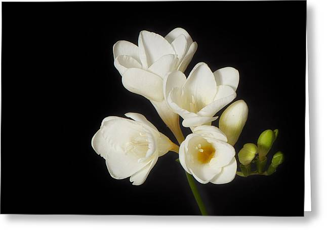 Interior Still Life Photographs Greeting Cards - Purity   A White on Black Floral Study Greeting Card by Lisa Knechtel