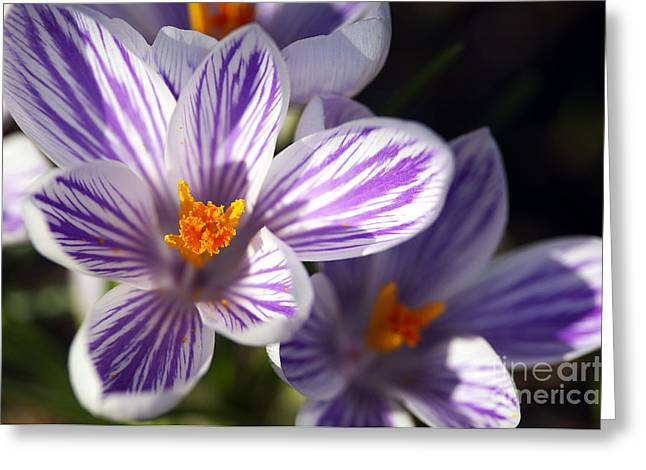 Spring Bulbs Greeting Cards - Purple and White Crocus Greeting Card by Sharon  Talson