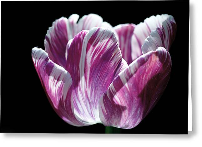 Tulipa Greeting Cards - Purple and White Marbled Tulip Greeting Card by Rona Black