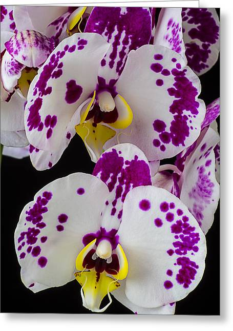 White Orchid Greeting Cards - Purple and white orchids Greeting Card by Garry Gay