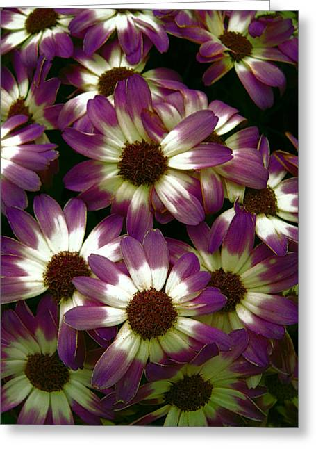 Flower Show Greeting Cards - PURPLE and WHITE PETALS Greeting Card by Daniel Hagerman