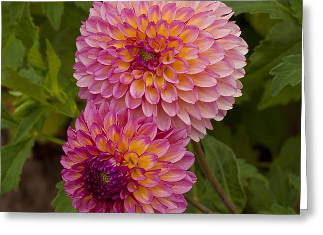 Swans... Greeting Cards - Purple and Yellow Dahlia Greeting Card by Mandy Judson