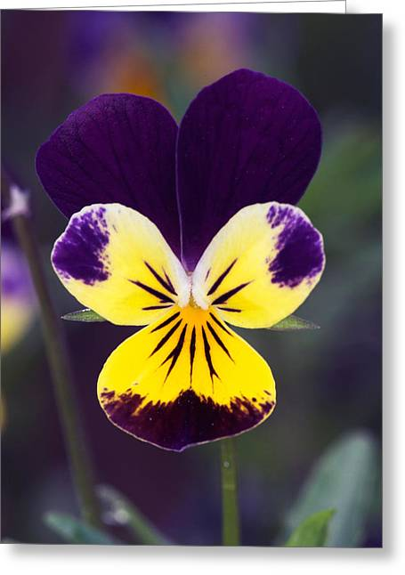 Short-lived Perennial Greeting Cards - Purple and Yellow Johnny-Jump-Ups Greeting Card by RM Vera