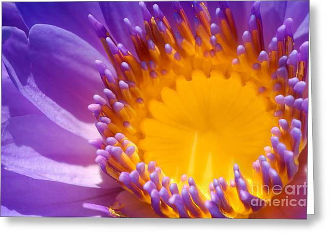 Nenuphar Greeting Cards - Purple and Yellow Water Lily Close Up Greeting Card by Laurent Lucuix