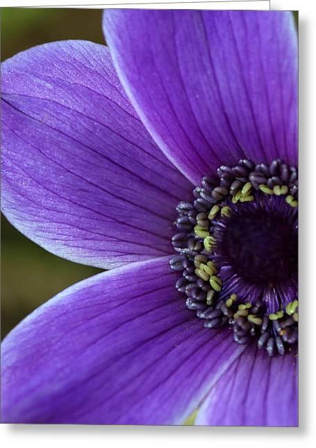 Anemone Coronaria Greeting Cards - Purple anemone Greeting Card by Barb Gabay