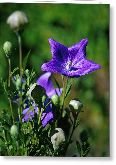 Balloon Flower Greeting Cards - Purple Balloon Flower Greeting Card by Anonymous