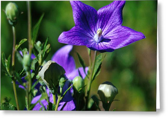Purple Balloon Flower Greeting Card by Anonymous