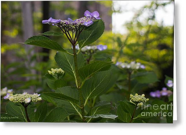 Lacecap Greeting Cards - Purple Blossoms Lacecap Hydrangea Greeting Card by Coertje Feil