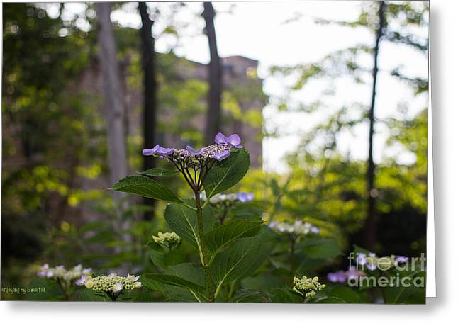 Lacecap Greeting Cards - Purple Blossoms Lacecap Hydrangeas Greeting Card by Coertje Feil