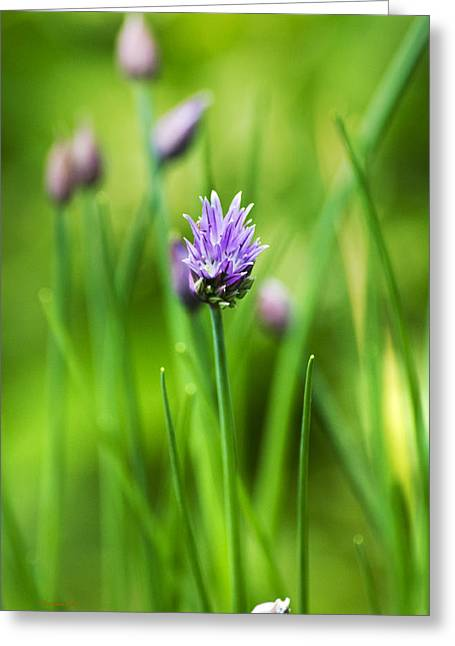 Green Chives Greeting Cards - Purple Chives Greeting Card by Christina Rollo