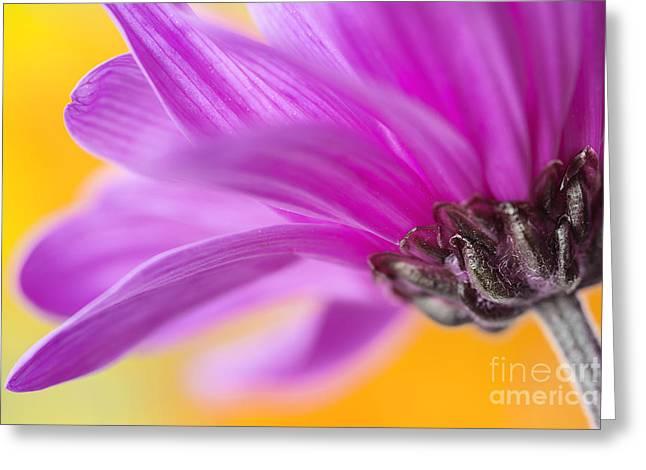 Macro Art In Nature Greeting Cards - Purple Chrysanthemum closeup Greeting Card by Vishwanath Bhat