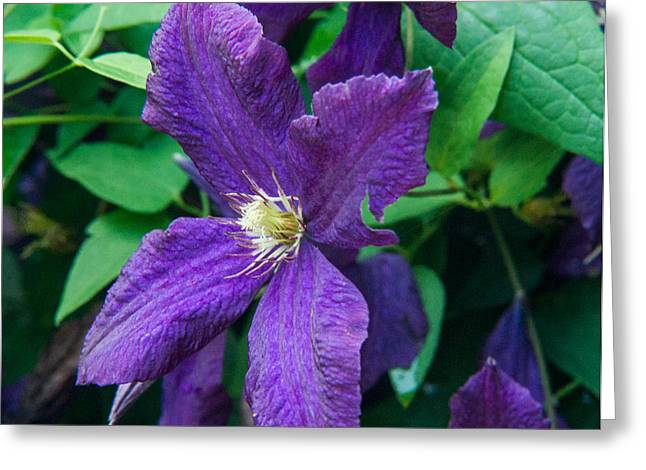 Tendrils Greeting Cards - Purple Clematis Greating the Day Greeting Card by Douglas Barnett