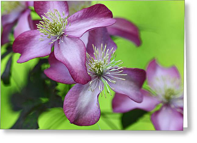 Vine Leaves Greeting Cards - Purple clematis Greeting Card by Sylvia Cook