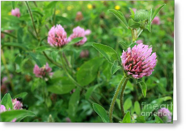 Purple Clover Wild Flower In Midwest United States Meadow Greeting Card by Adam Long