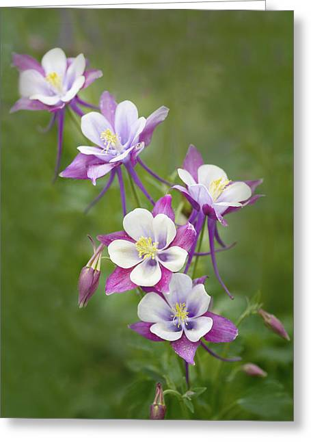 Columbine Greeting Cards - Purple Columbine Greeting Card by Rebecca Cozart