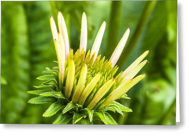 Mothersday Greeting Cards - Purple Cone Flower Bud - Echinecea Greeting Card by Steven Ralser