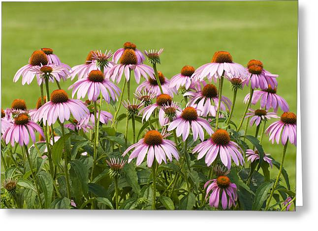 Medication Greeting Cards - Purple Cone Flowers Greeting Card by Lynn Hansen