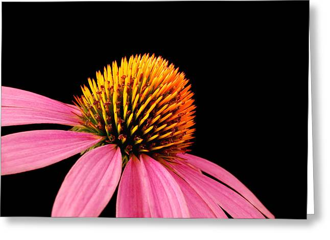 Coneflower Greeting Cards - Purple Coneflower Greeting Card by Jim Hughes