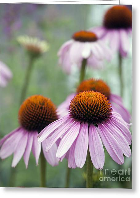 Coneflowers Greeting Cards - Purple Coneflower Greeting Card by Juli Scalzi