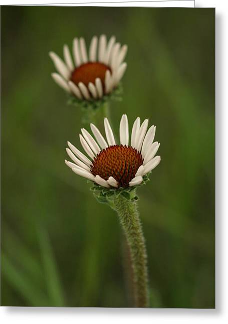 Antidepressant Greeting Cards - Purple Coneflower Greeting Card by James Peterson