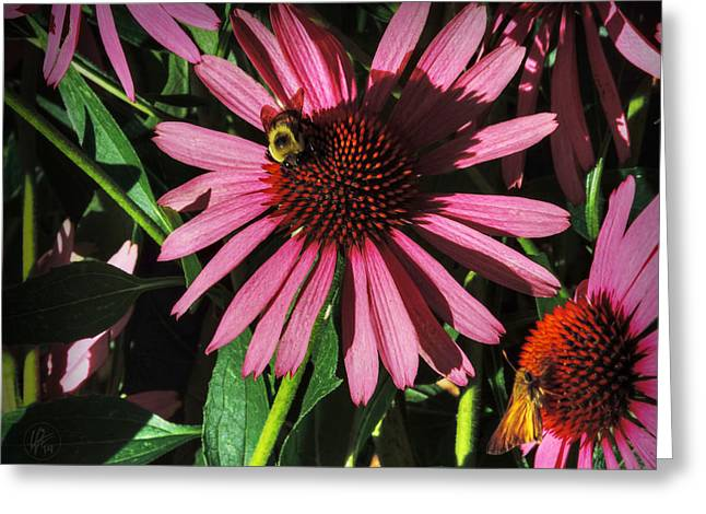 Aster Greeting Cards - Purple Coneflowers 003 Greeting Card by Lance Vaughn