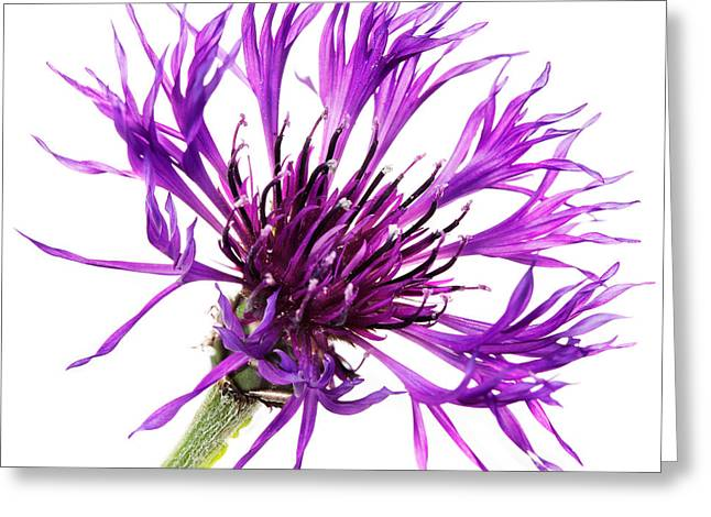 Centaurea Montana Greeting Cards - Purple Cornflower Greeting Card by Jo Ann Snover