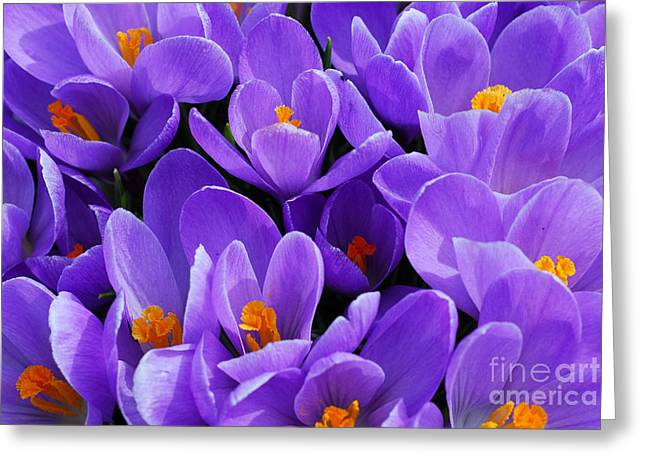 Crocus Greeting Cards - Purple crocus Greeting Card by Elena Elisseeva