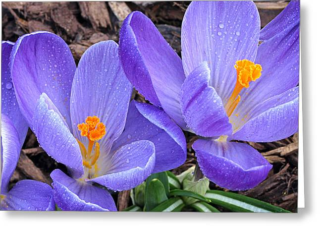 Garden Petal Image Greeting Cards - Purple Crocus in the Rain Greeting Card by Gill Billington
