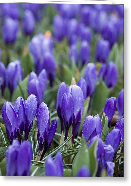 Crocus Flower Greeting Cards - Purple Crocuses Greeting Card by Juli Scalzi