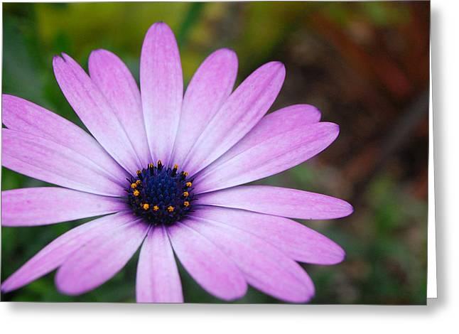 Kula Greeting Cards - Purple Daisy Greeting Card by Amy Fose