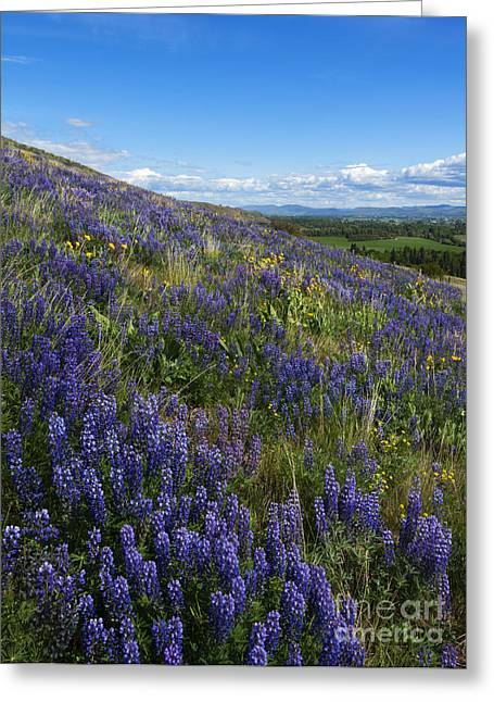 Lupine Greeting Cards - Purple Fields Greeting Card by Mike  Dawson