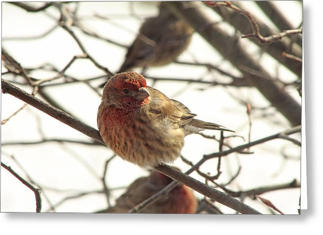 Southern Indiana Greeting Cards - Purple Finch Greeting Card by Andrea Kappler